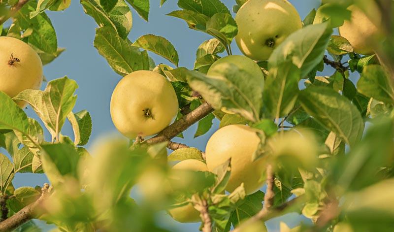 Für Calvados dürfen nur Äpfel aus geschützten Herkunftsgebieten verwendet werden.