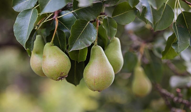 Auch Birnen dürfen dem Calvados beigegeben werden - allerdings nur in festgelegten Verhältnissen