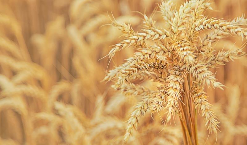 Getreide bildet die Grundlage eines jeden Korns